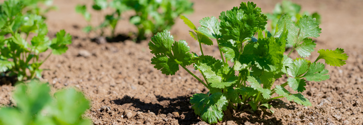 Coriander: interesting facts and a recipe