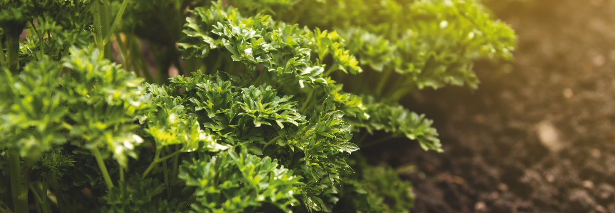 Curly Parsley: interesting facts and a recipe